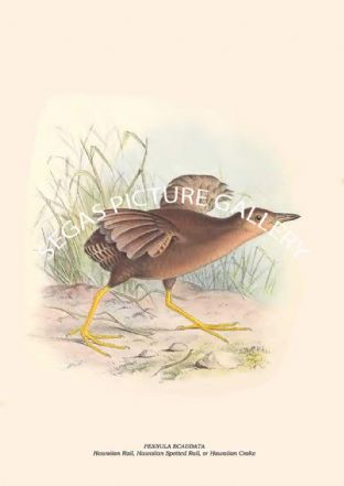 PENNULA ECAUDATA - Hawaiian Rail, Hawaiian Spotted Rail, or Hawaiian Crake